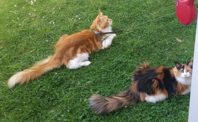 George and Callie Maine Coons.jpg